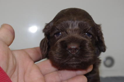 アメリカンコッカースパニエルの子犬No.200911221