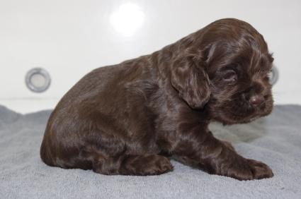 アメリカンコッカースパニエルの子犬No.200911221-2