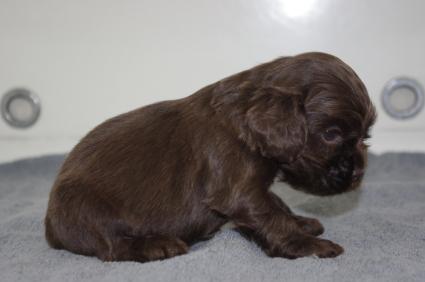 アメリカンコッカースパニエルの子犬No.200911222-2