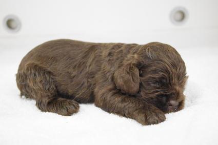 アメリカンコッカースパニエルの子犬No.201002121-2