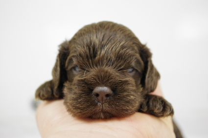 アメリカンコッカースパニエルの子犬No.201002122