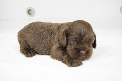 アメリカンコッカースパニエルの子犬No.201002122-2
