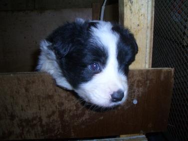 ボーダーコリーの子犬の写真