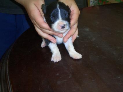 ボーダーコリーの子犬No.200808123