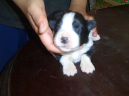 ボーダーコリーの子犬No.200808124