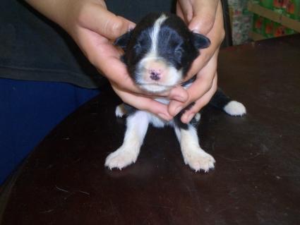 ボーダーコリーの子犬No.200808125