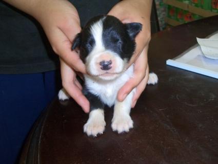 ボーダーコリーの子犬No.200808121
