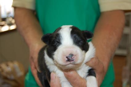 ボーダーコリーの子犬No.200811201