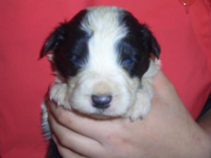 ボーダーコリーの子犬No.200808071
