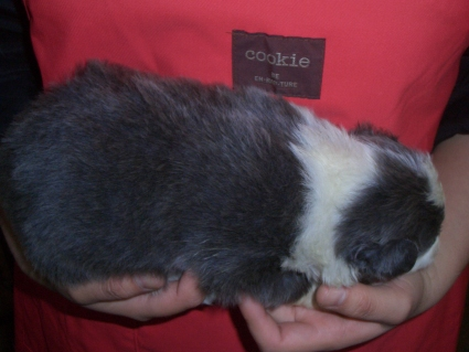 ボーダーコリーの子犬No.200902135