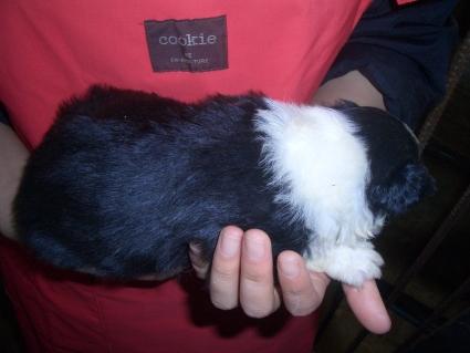 ボーダーコリーの子犬No.200902136