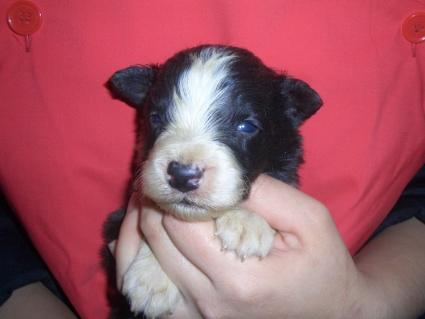 ボーダーコリーの子犬No.200902133