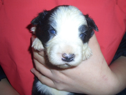 ボーダーコリーの子犬No.200902134