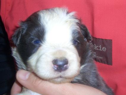 ボーダーコリーの子犬No.200902132