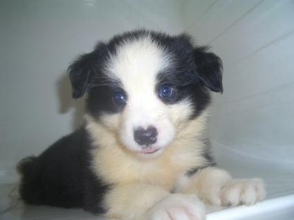 ボーダーコリーの子犬No.200906271