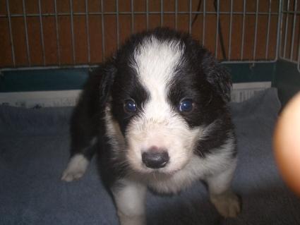 ボーダーコリーの子犬No.200909031