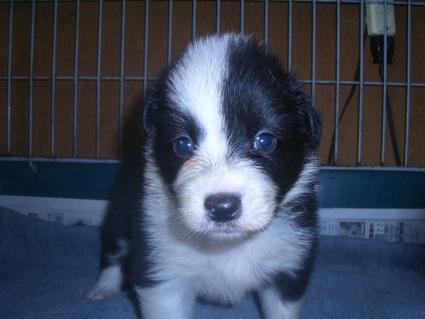 ボーダーコリーの子犬No.200909032