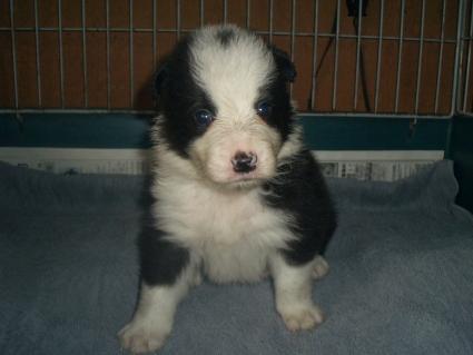 ボーダーコリーの子犬No.200909033
