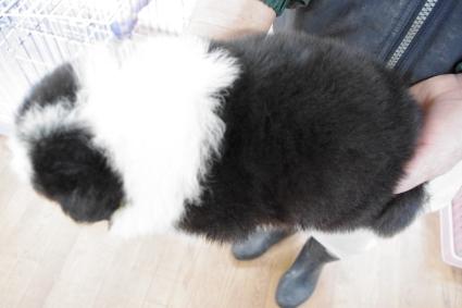 ボーダーコリーの子犬No.20100221-2