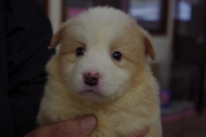 ボーダーコリーの子犬No.20100222