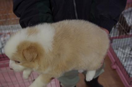 ボーダーコリーの子犬No.20100222-2