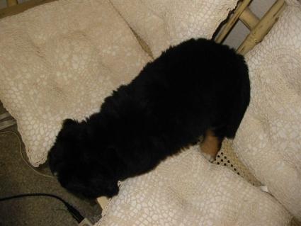 バーニーズマウンテンドッグの子犬No.200807221-2