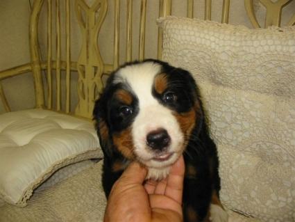 バーニーズマウンテンドッグの子犬No.200807223