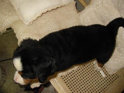 バーニーズマウンテンドッグの子犬No.200807223-2