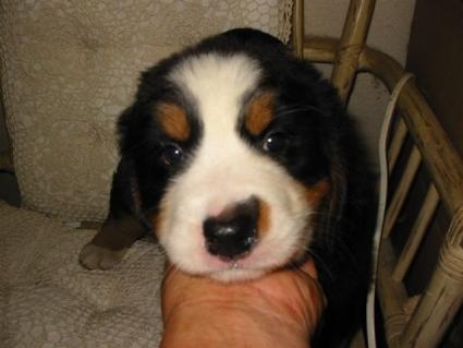 バーニーズマウンテンドッグの子犬No.200807221
