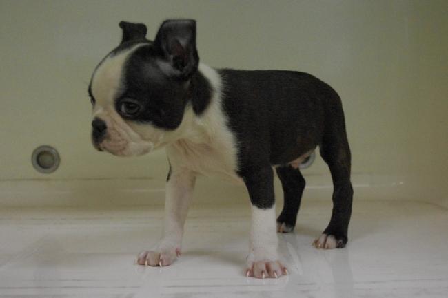 ボストンテリアの子犬