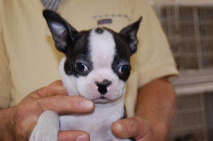 ボストンテリアの子犬販売No.200808282