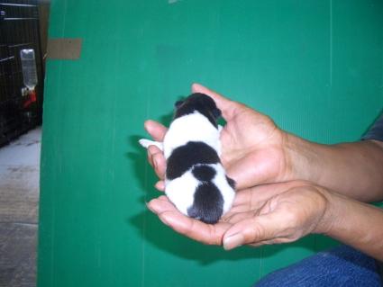 チワワの子犬1-2