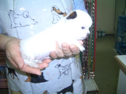 チワワの子犬販売No.200809141-2