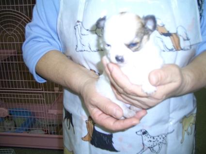 チワワの子犬販売No.200809141