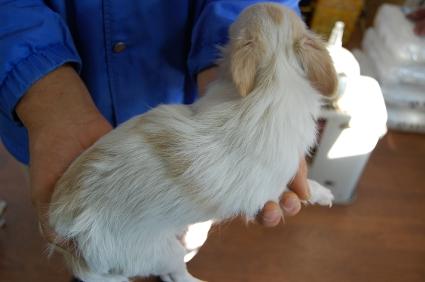 チワワの子犬No.200808022-2