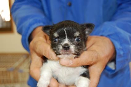 チワワの子犬販売No.200811123