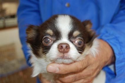チワワの子犬No.200808021