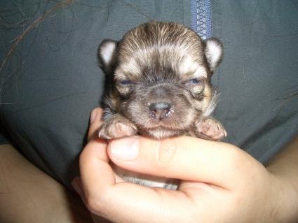 チワワの子犬販売No.200901202