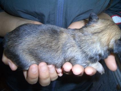 チワワの子犬販売No.200901202-2