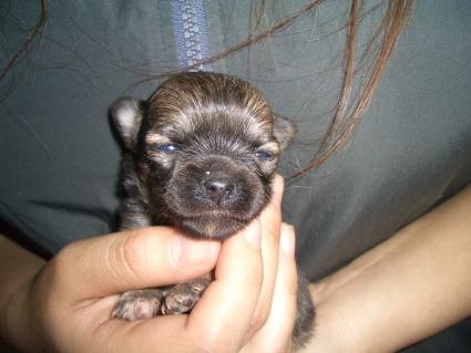 チワワの子犬販売No.200901201