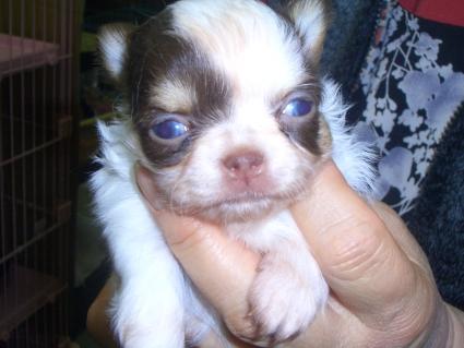 チワワの子犬販売No.200901222