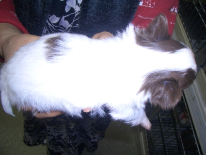 チワワの子犬販売No.200901222-2