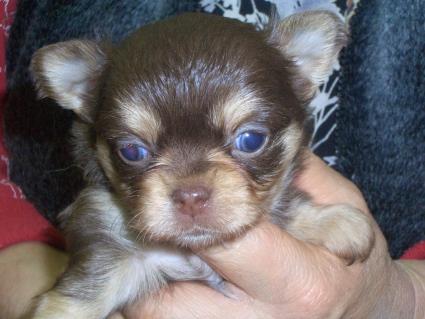 チワワの子犬販売No.200901221
