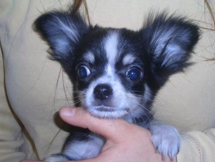 チワワの子犬販売No.200811121
