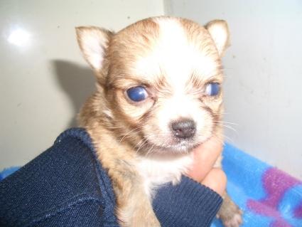 チワワの子犬販売No.200903272