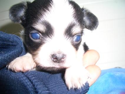 チワワの子犬販売No.200904021
