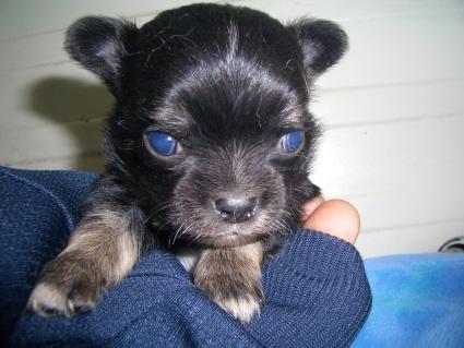 チワワの子犬販売No.200904022