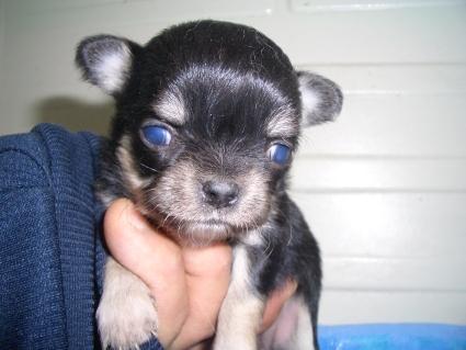 チワワの子犬販売No.200904023