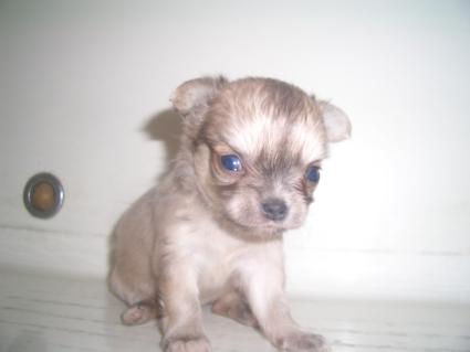 チワワの子犬販売No.200907091