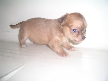 チワワの子犬販売No.200907092